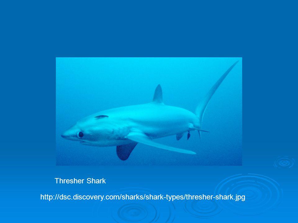 http://dsc.discovery.com/sharks/shark-types/thresher-shark.jpg Thresher Shark