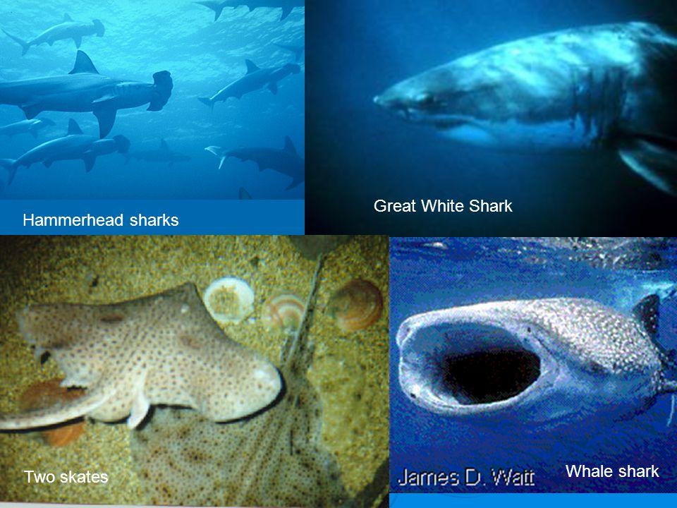 Great White Shark Two skates Hammerhead sharks Whale shark
