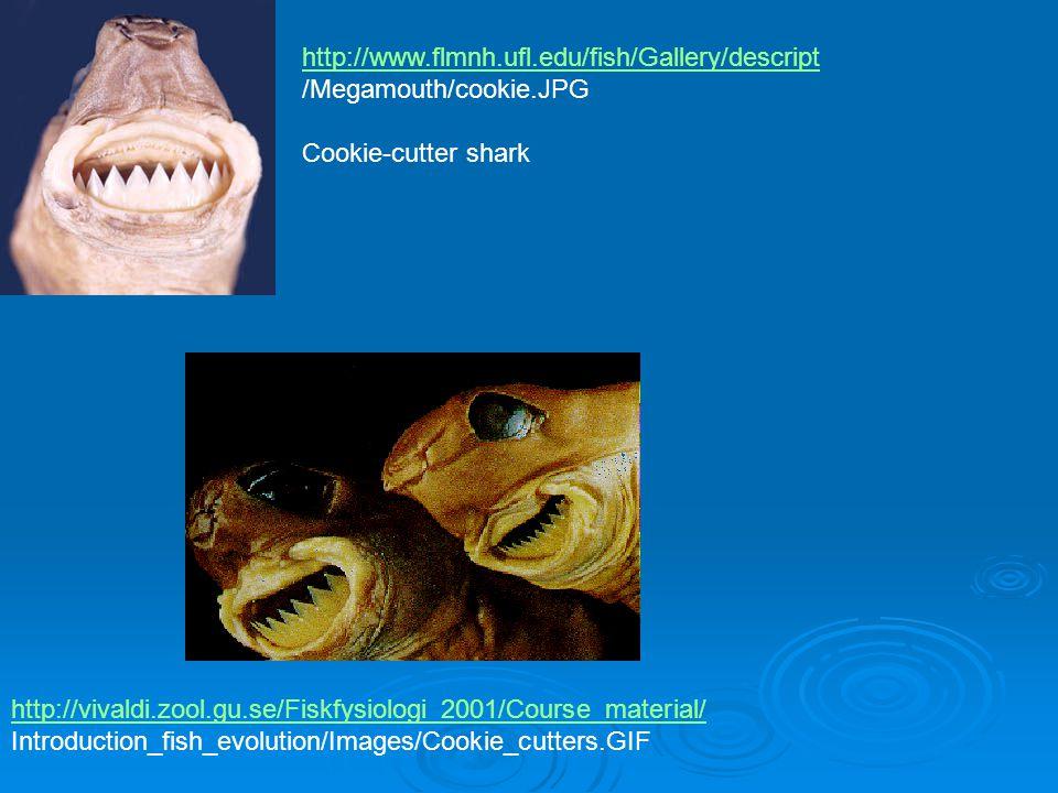 http://www.flmnh.ufl.edu/fish/Gallery/descript /Megamouth/cookie.JPG Cookie-cutter shark http://vivaldi.zool.gu.se/Fiskfysiologi_2001/Course_material/ Introduction_fish_evolution/Images/Cookie_cutters.GIF