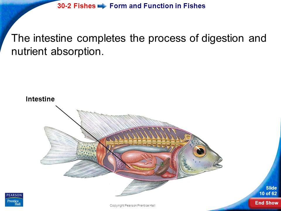 End Show 30-2 Fishes Slide 10 of 62 Copyright Pearson Prentice Hall Form and Function in Fishes The intestine completes the process of digestion and n