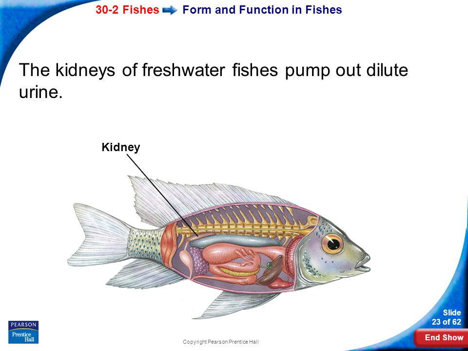End Show 30-2 Fishes Slide 23 of 62 Copyright Pearson Prentice Hall Form and Function in Fishes The kidneys of freshwater fishes pump out dilute urine