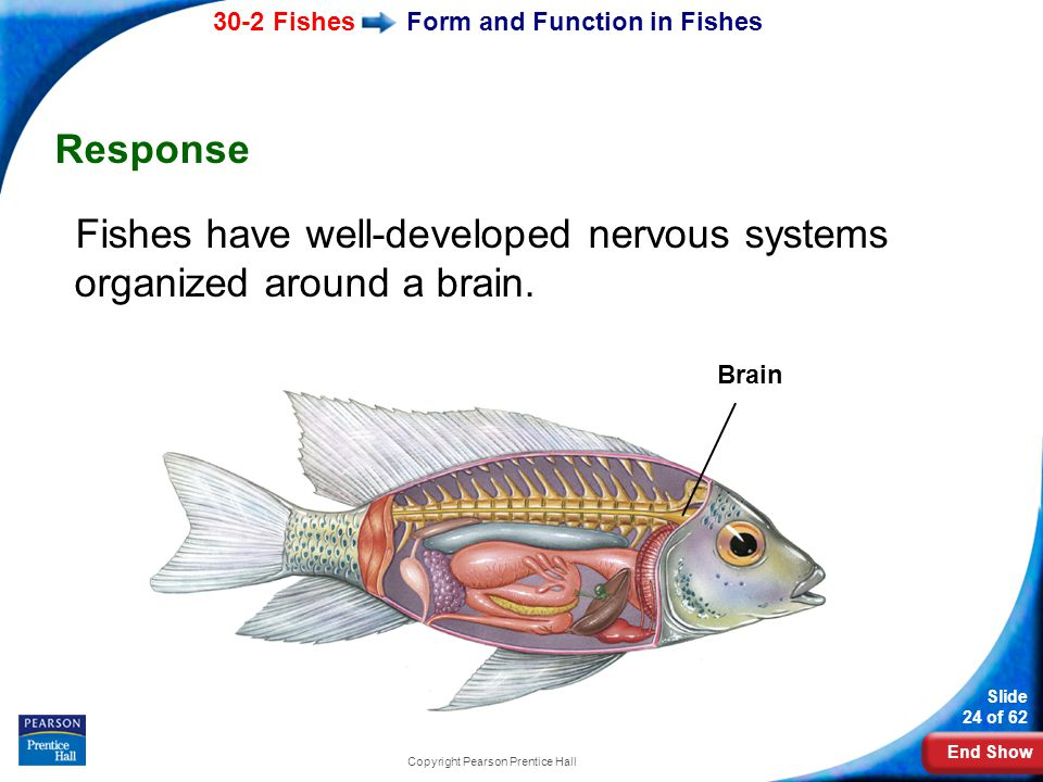 End Show 30-2 Fishes Slide 24 of 62 Copyright Pearson Prentice Hall Form and Function in Fishes Response Fishes have well-developed nervous systems or