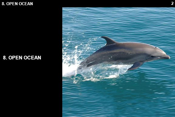 23 8.1 LIFE IN THE OPEN THRESHER SHARK The thresher shark (Alopias vulpinas) is an oceanic deep-water shark.