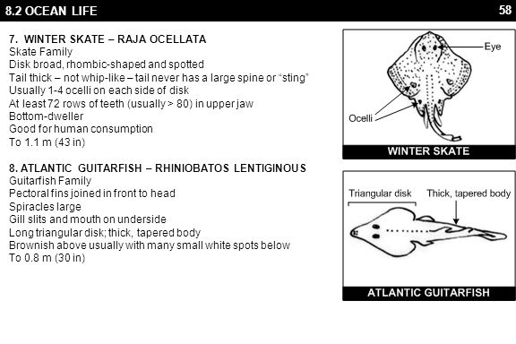 58 8.2 OCEAN LIFE 7. WINTER SKATE – RAJA OCELLATA Skate Family Disk broad, rhombic-shaped and spotted Tail thick – not whip-like – tail never has a la