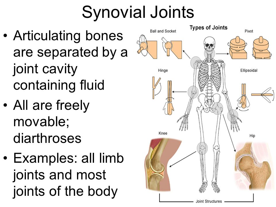 Synovial Joints Articulating bones are separated by a joint cavity containing fluid All are freely movable; diarthroses Examples: all limb joints and