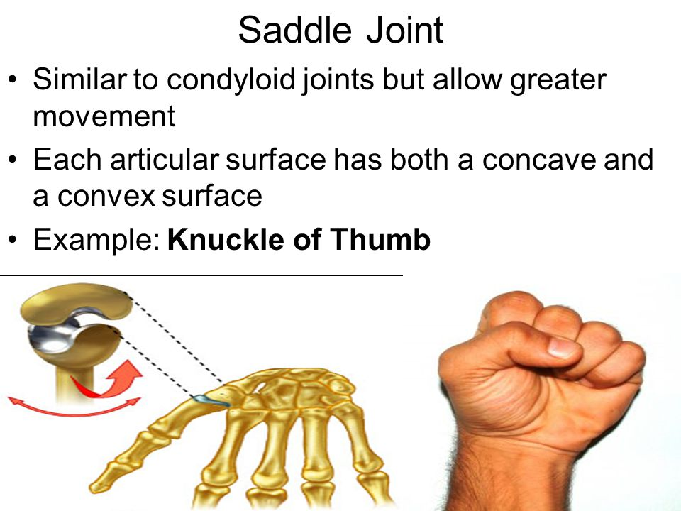 Saddle Joint Similar to condyloid joints but allow greater movement Each articular surface has both a concave and a convex surface Example: Knuckle of