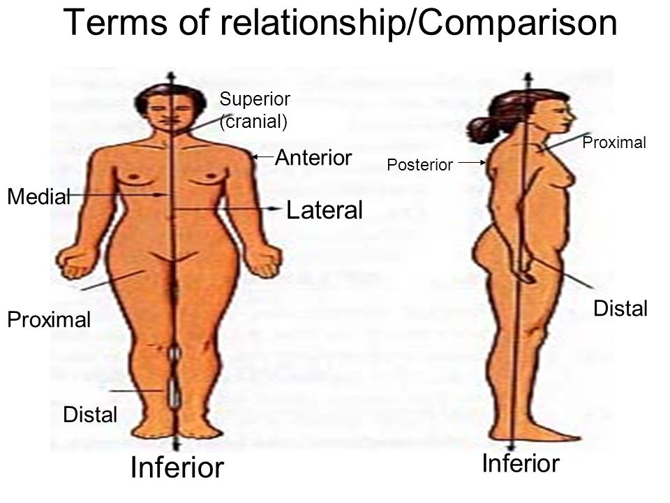 Terms of relationship/Comparison Superior (cranial) Proximal Distal Medial Lateral Proximal Distal Posterior Anterior Inferior