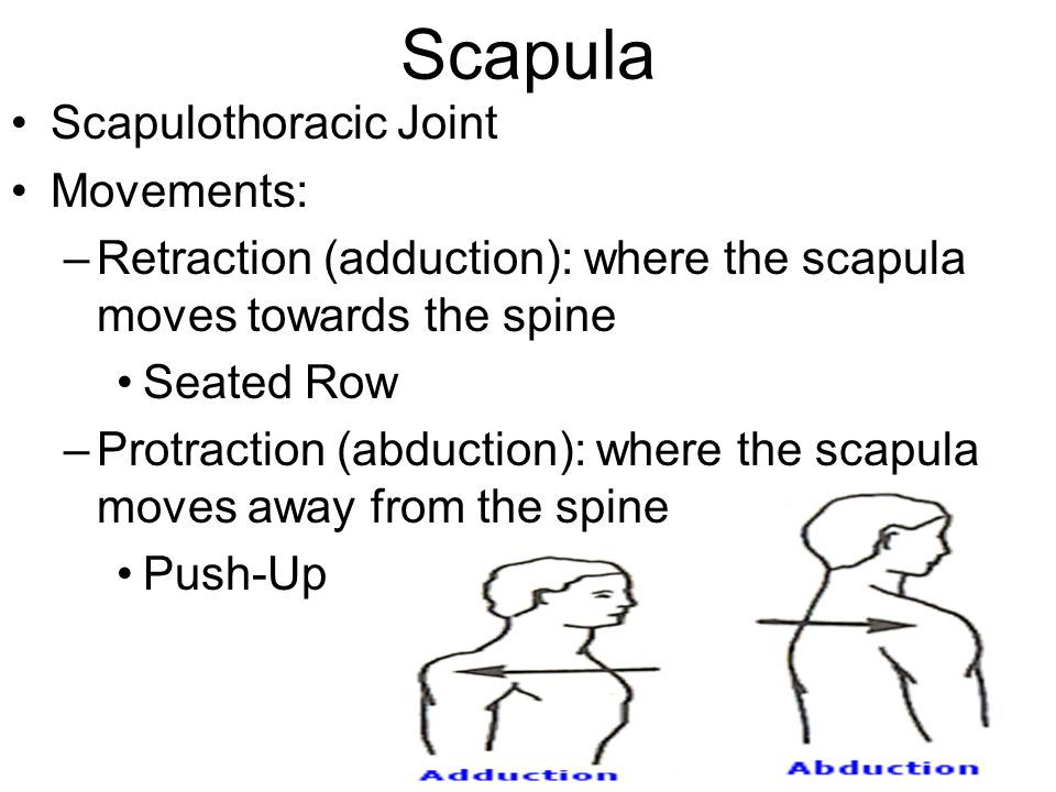 Scapula Scapulothoracic Joint Movements: –Retraction (adduction): where the scapula moves towards the spine Seated Row –Protraction (abduction): where