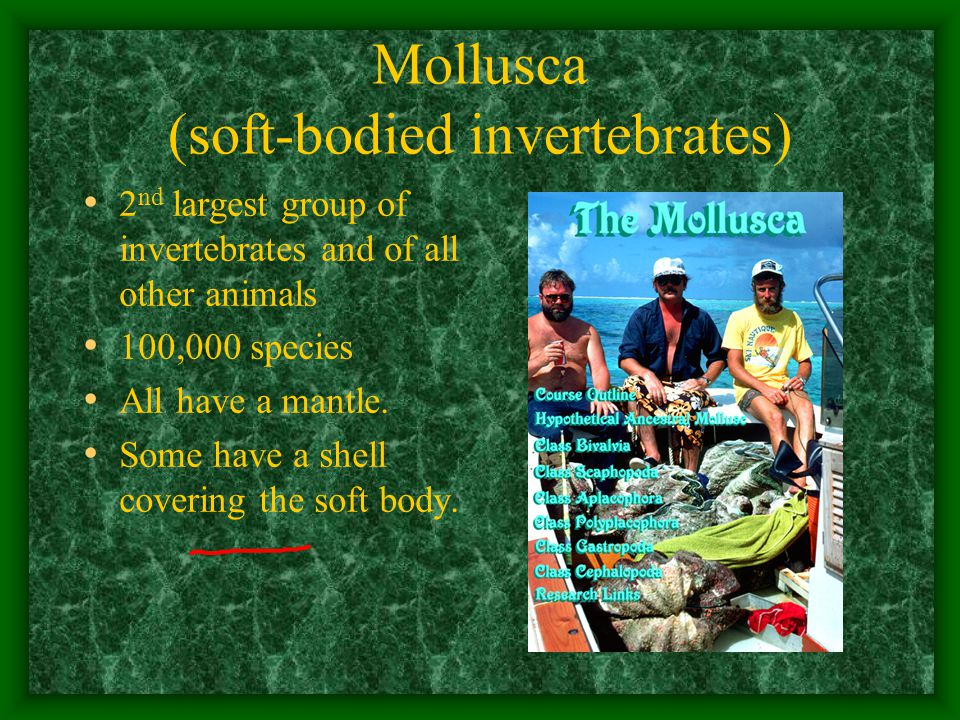 Mollusca (soft-bodied invertebrates) 2 nd largest group of invertebrates and of all other animals 100,000 species All have a mantle.