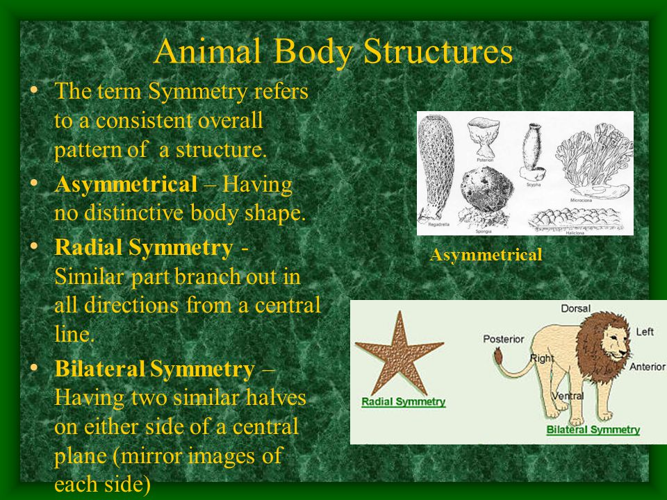 Animal Body Structures The term Symmetry refers to a consistent overall pattern of a structure.