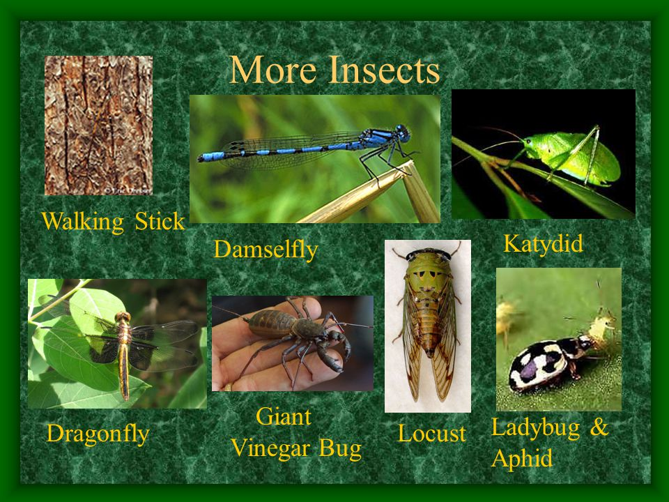 More Insects Walking Stick Katydid Damselfly DragonflyLocust Ladybug & Aphid Giant Vinegar Bug