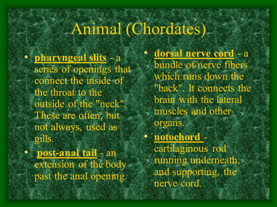 Animal (Chordates) pharyngeal slits - a series of openings that connect the inside of the throat to the outside of the neck .