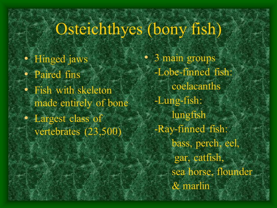 Osteichthyes (bony fish) Hinged jaws Paired fins Fish with skeleton made entirely of bone Largest class of vertebrates (23,500) 3 main groups -Lobe-finned fish: coelacanths -Lung-fish: lungfish -Ray-finned fish: bass, perch, eel, gar, catfish, sea horse, flounder & marlin
