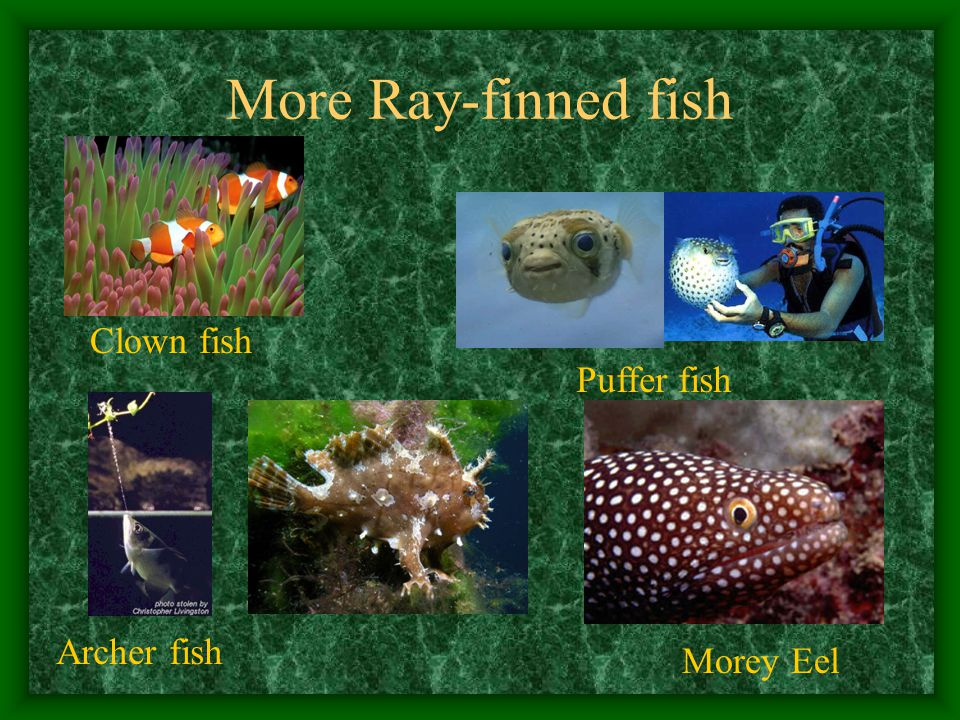 More Ray-finned fish Clown fish Puffer fish Morey Eel Archer fish