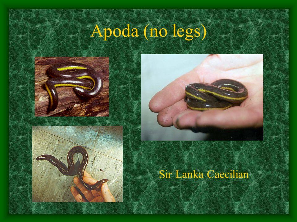 Apoda (no legs) Sir Lanka Caecilian