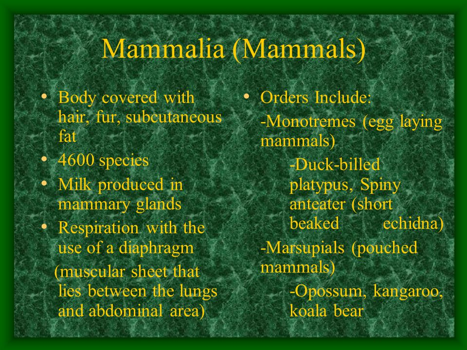 Mammalia (Mammals) Body covered with hair, fur, subcutaneous fat 4600 species Milk produced in mammary glands Respiration with the use of a diaphragm (muscular sheet that lies between the lungs and abdominal area) Orders Include: -Monotremes (egg laying mammals) -Duck-billed platypus, Spiny anteater (short beaked echidna) -Marsupials (pouched mammals) -Opossum, kangaroo, koala bear
