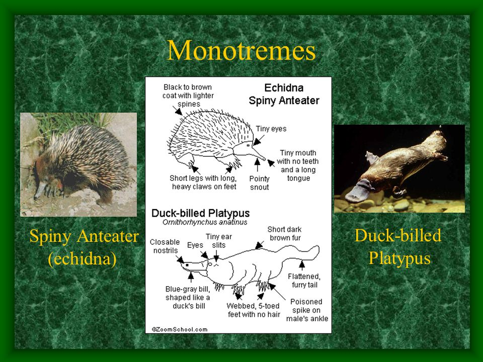 Monotremes Spiny Anteater (echidna) Duck-billed Platypus