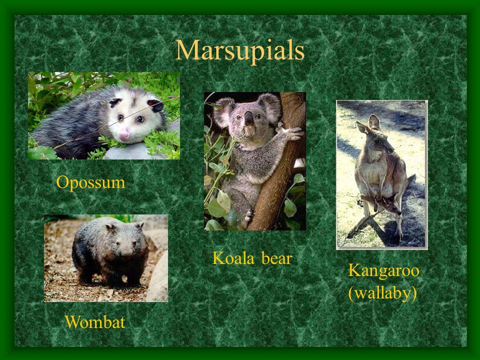 Marsupials Opossum Kangaroo (wallaby) Koala bear Wombat