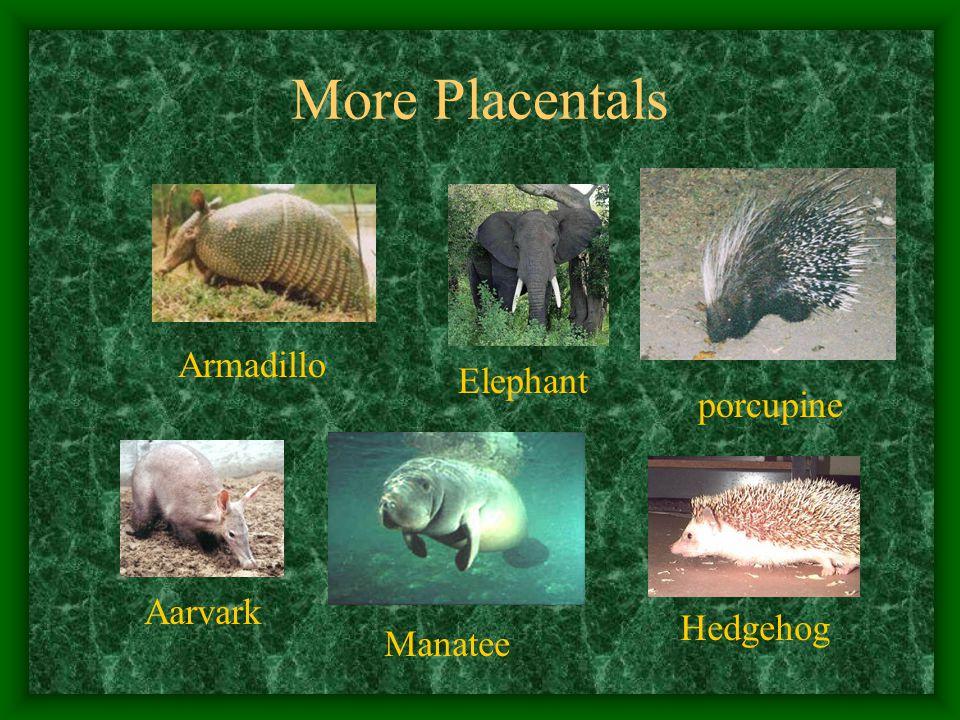 More Placentals Armadillo Elephant Aarvark Manatee porcupine Hedgehog