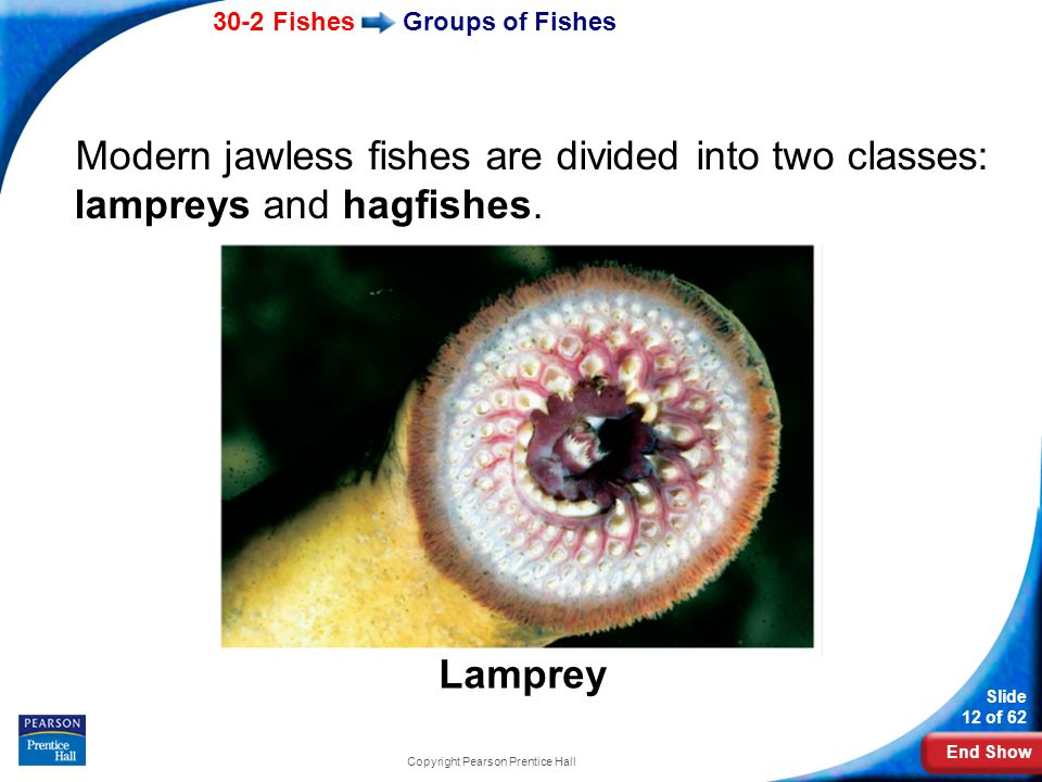 End Show 30-2 Fishes Slide 12 of 62 Copyright Pearson Prentice Hall Modern jawless fishes are divided into two classes: lampreys and hagfishes.