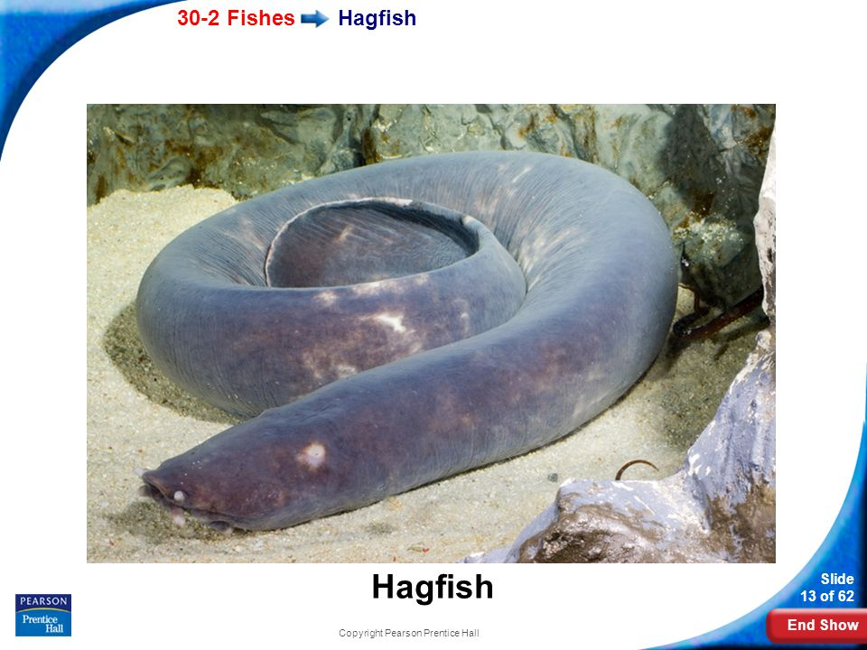End Show 30-2 Fishes Slide 13 of 62 Hagfish Copyright Pearson Prentice Hall Hagfish