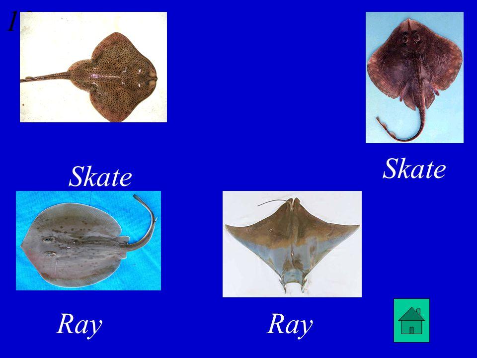 12 Skate or Ray?