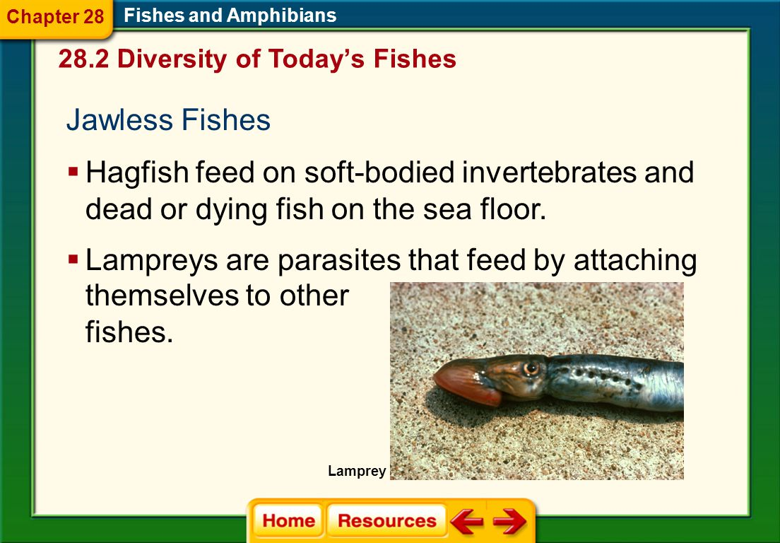 Jawless Fishes  Hagfish feed on soft-bodied invertebrates and dead or dying fish on the sea floor.