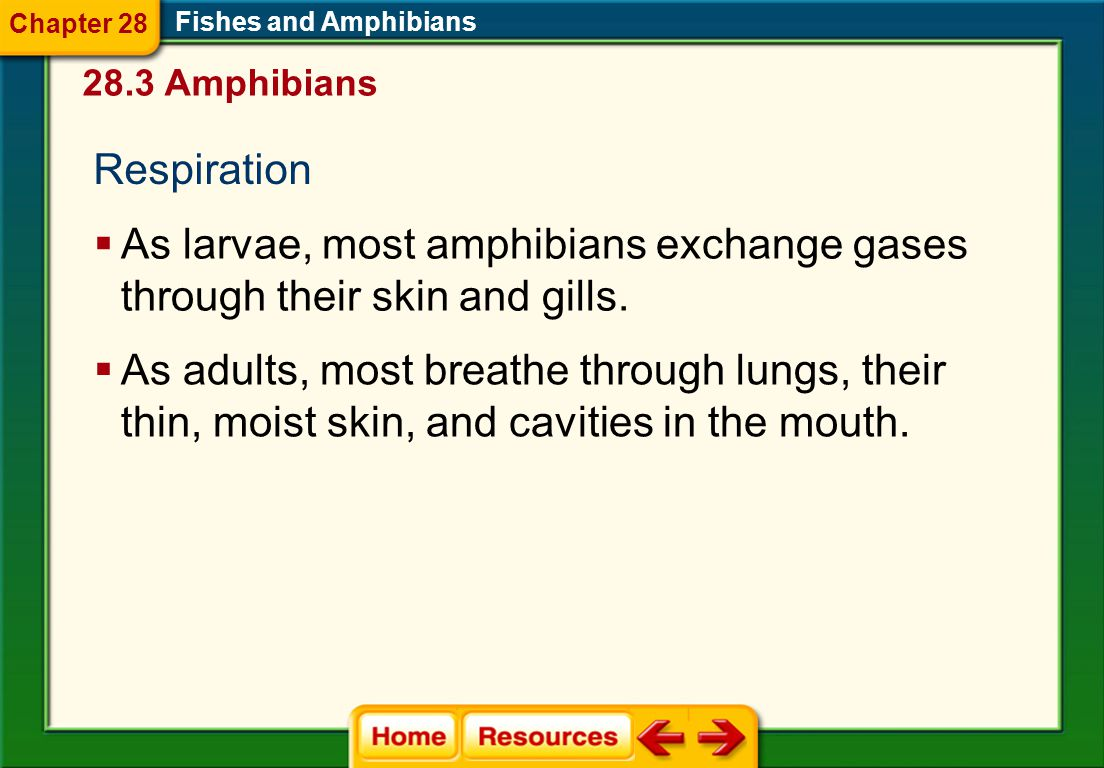 Respiration  As larvae, most amphibians exchange gases through their skin and gills.