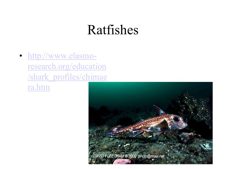 Ratfishes http://www.elasmo- research.org/education /shark_profiles/chimae ra.htmhttp://www.elasmo- research.org/education /shark_profiles/chimae ra.htm