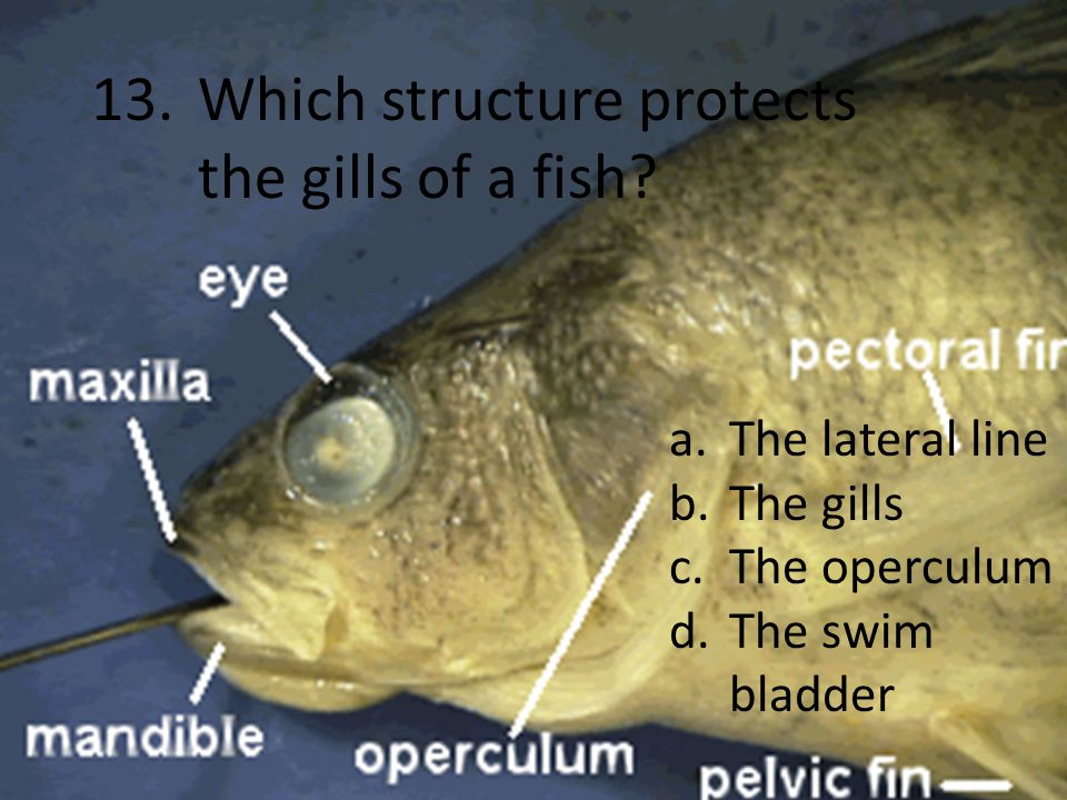 13.Which structure protects the gills of a fish.