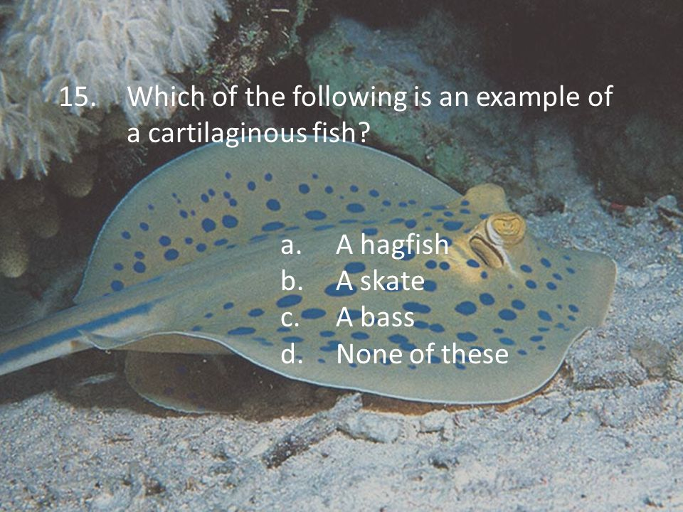 15.Which of the following is an example of a cartilaginous fish.