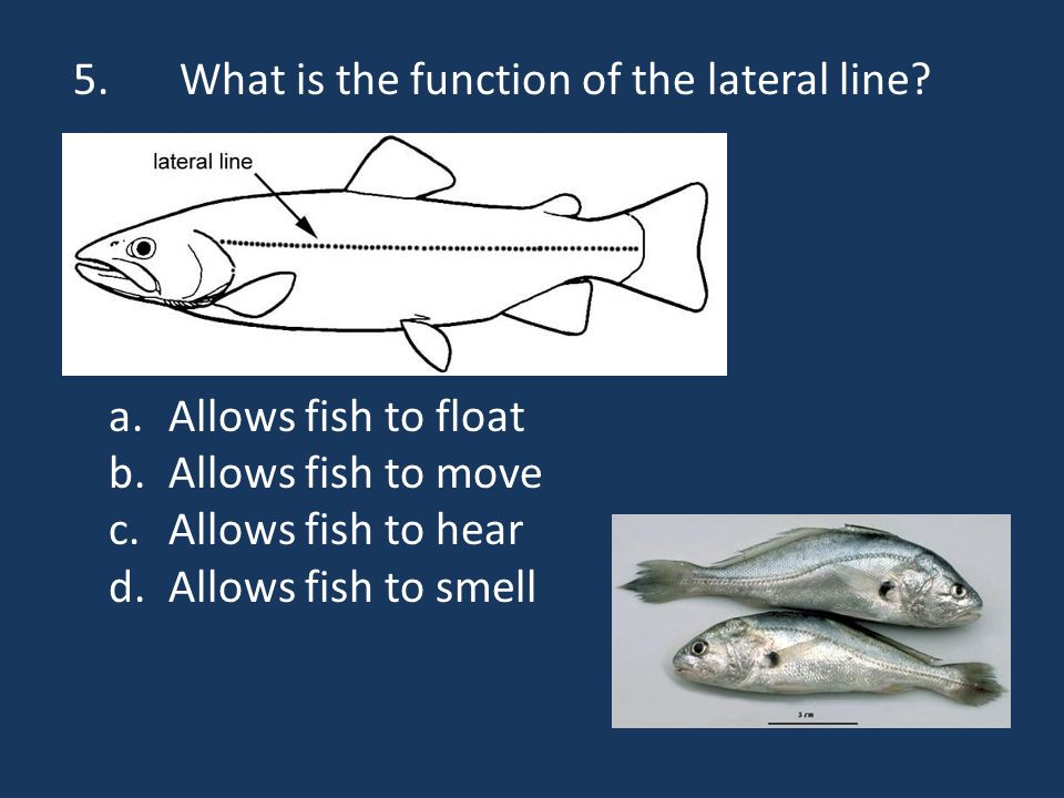 5.What is the function of the lateral line.