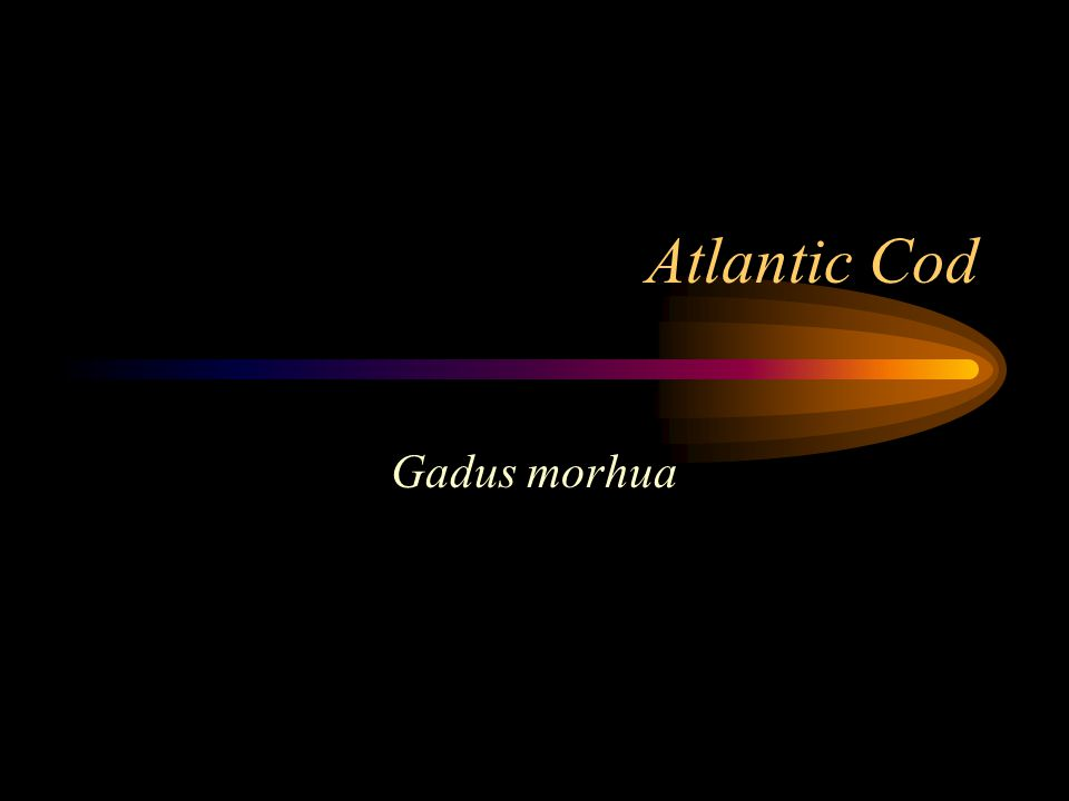 Atlantic Cod Gadus morhua