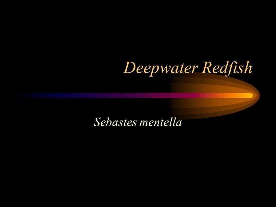 Deepwater Redfish Sebastes mentella