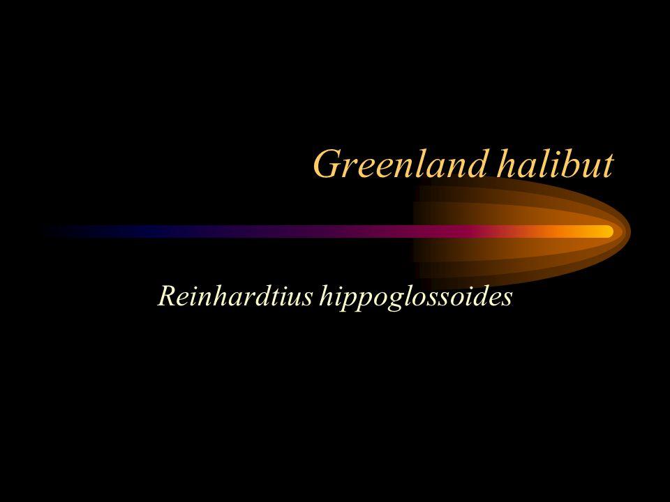 Greenland halibut Reinhardtius hippoglossoides