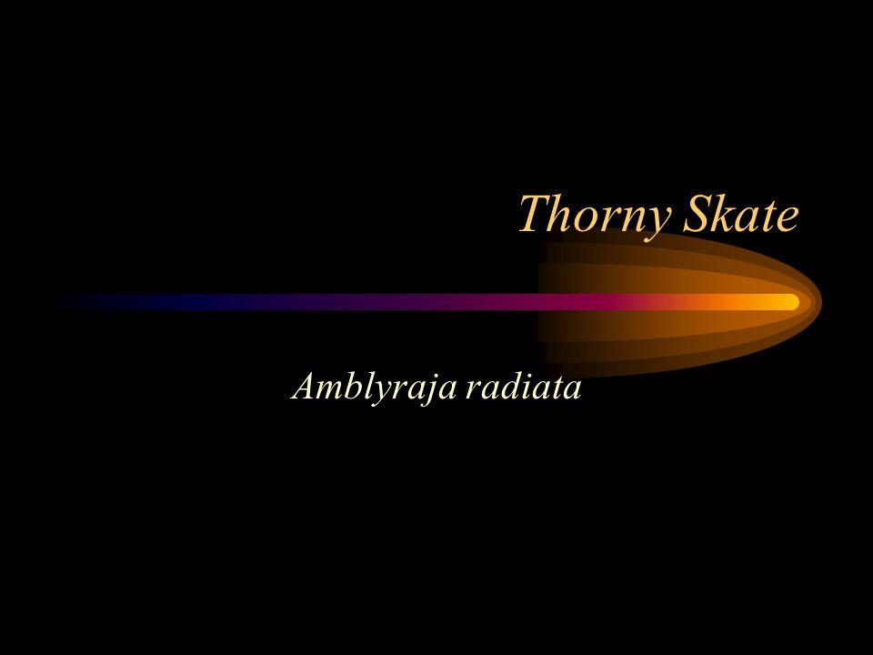 Thorny Skate Amblyraja radiata