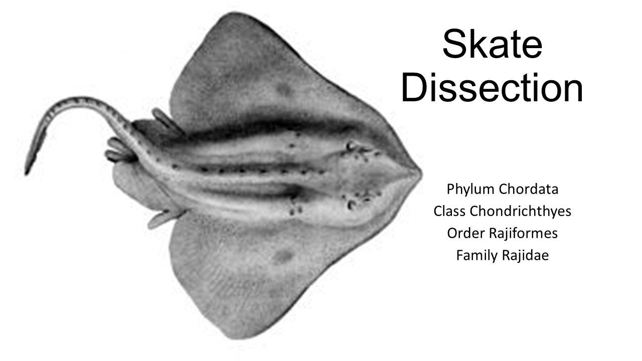 Skate Dissection Phylum Chordata Class Chondrichthyes Order Rajiformes Family Rajidae