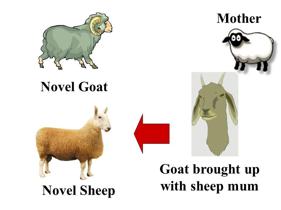 Novel Sheep Goat brought up with sheep mum Novel Goat Mother