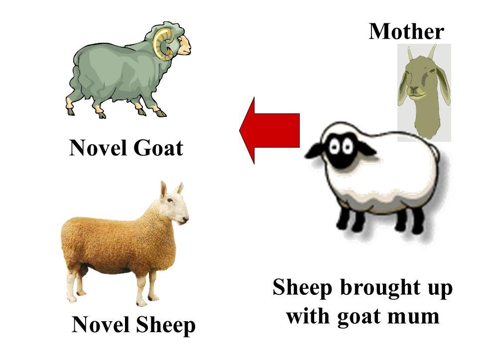 Novel Sheep Sheep brought up with goat mum Novel Goat Mother
