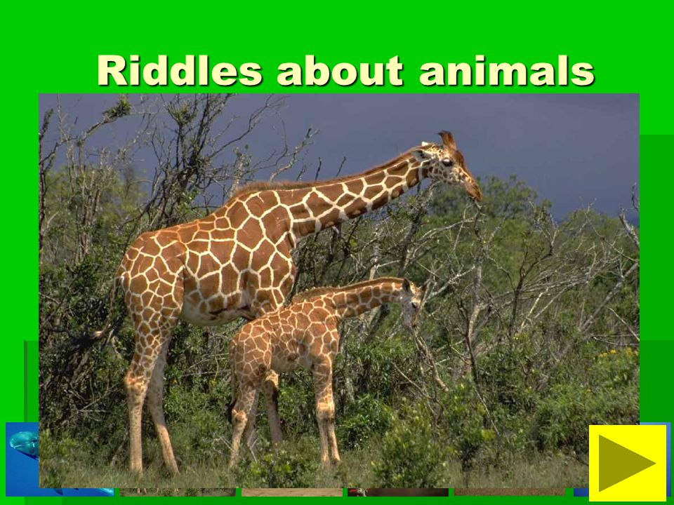 Riddles about animals Riddles about animals It is a tall animal.