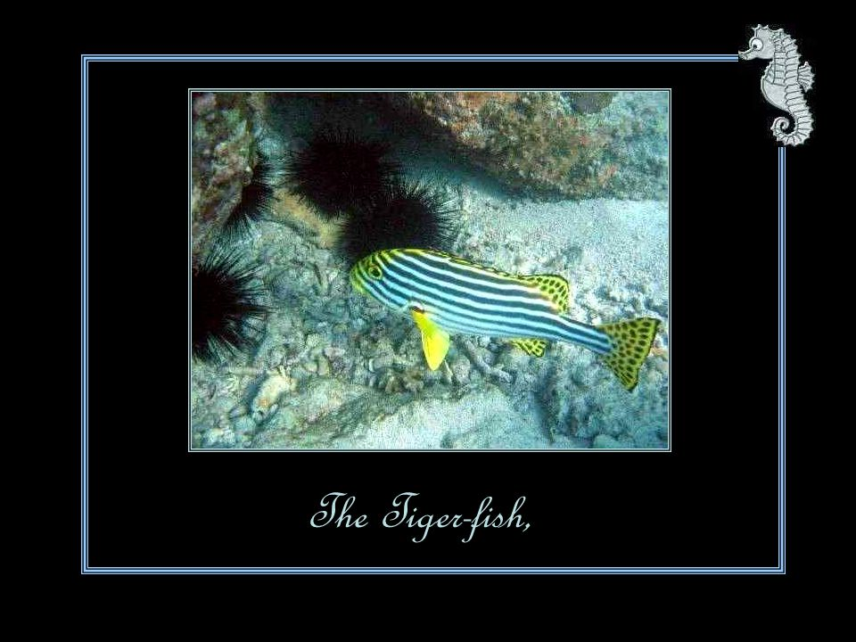 The Tiger-fish,
