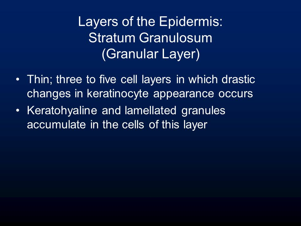 Thin; three to five cell layers in which drastic changes in keratinocyte appearance occurs Keratohyaline and lamellated granules accumulate in the cells of this layer Layers of the Epidermis: Stratum Granulosum (Granular Layer)