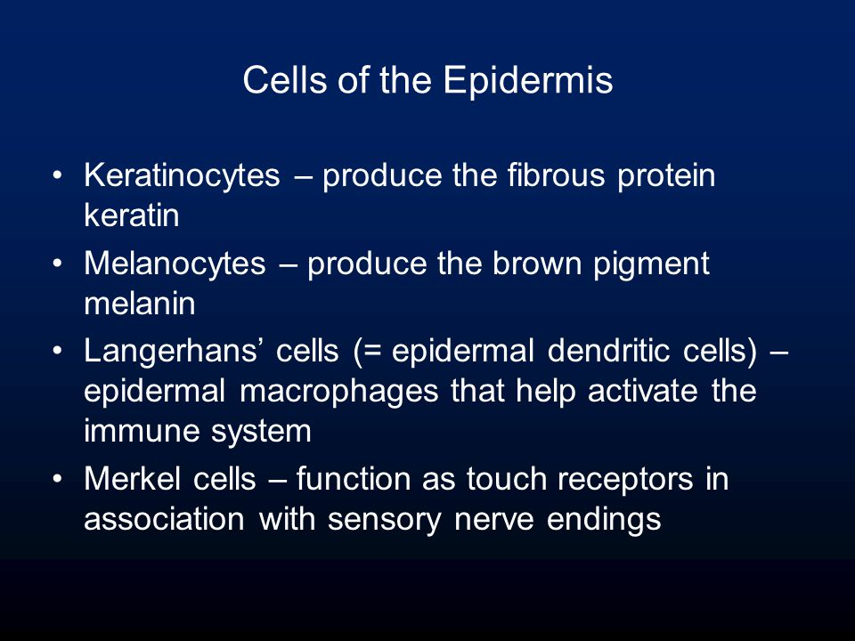 Cells of the Epidermis Keratinocytes – produce the fibrous protein keratin Melanocytes – produce the brown pigment melanin Langerhans' cells (= epidermal dendritic cells) – epidermal macrophages that help activate the immune system Merkel cells – function as touch receptors in association with sensory nerve endings