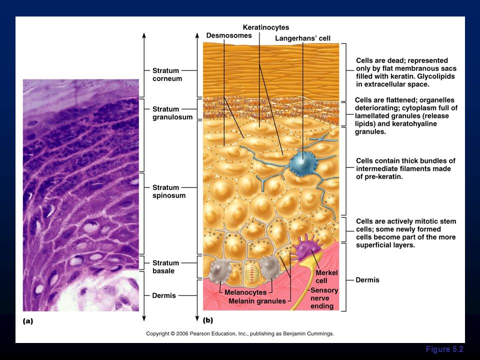 Cells contain a weblike system of intermediate filaments attached to desmosomes Melanin granules and Langerhans' cells (also known as epidermal dendritic cells) are abundant in this layer Layers of the Epidermis: Stratum Spinosum (Prickly Layer)
