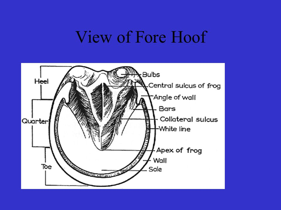 View of Fore Hoof