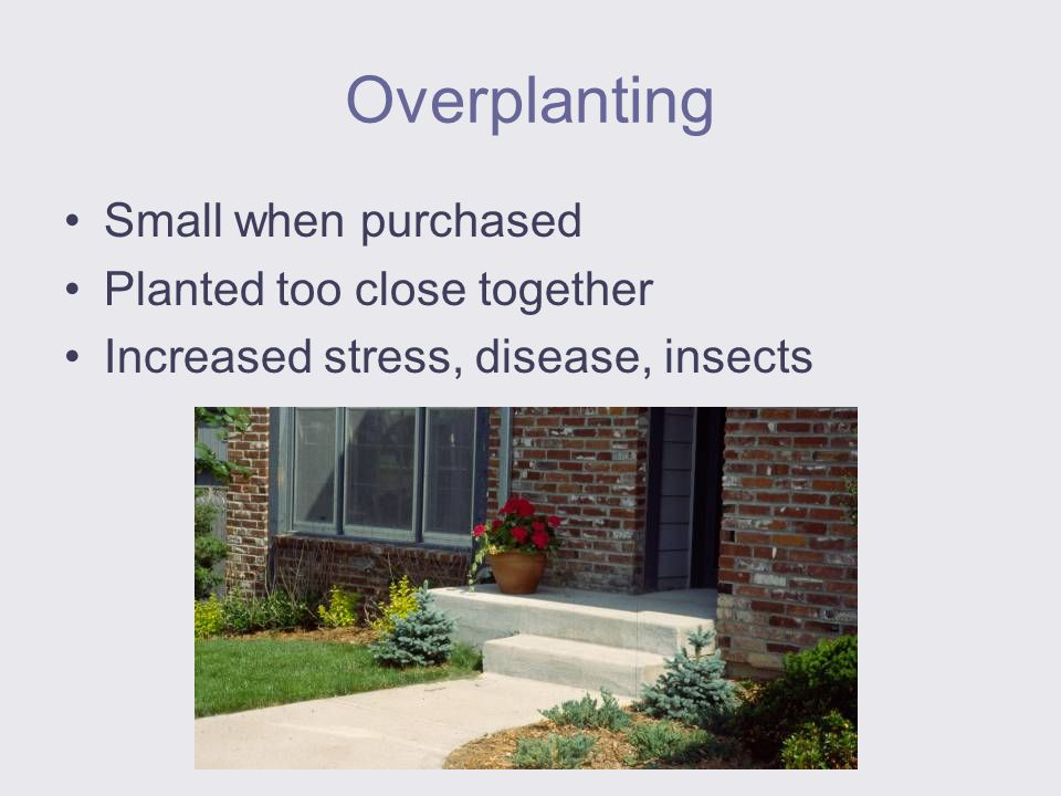 Overplanting Small when purchased Planted too close together Increased stress, disease, insects