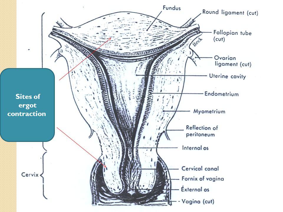 Sites of ergot contraction