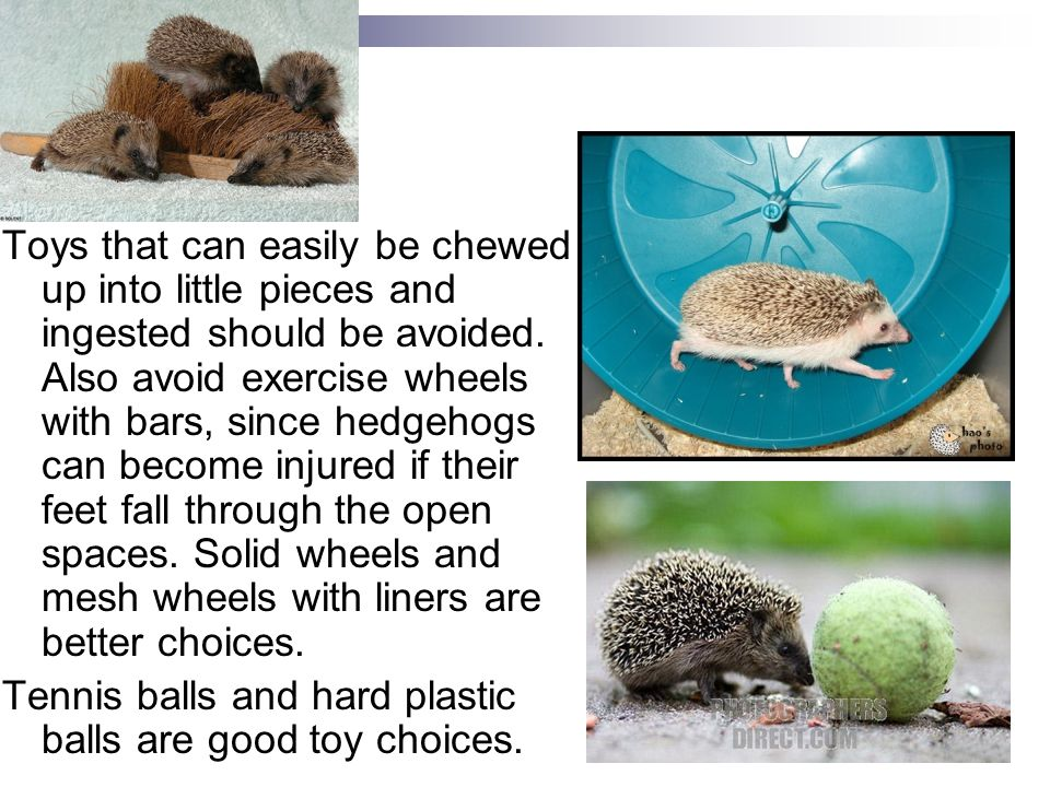 Enrichment Toys that can easily be chewed up into little pieces and ingested should be avoided. Also avoid exercise wheels with bars, since hedgehogs