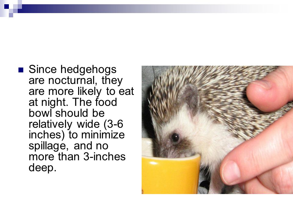Since hedgehogs are nocturnal, they are more likely to eat at night.