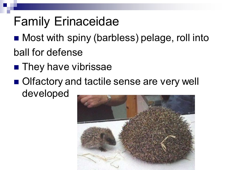 Family Erinaceidae Most with spiny (barbless) pelage, roll into ball for defense They have vibrissae Olfactory and tactile sense are very well developed